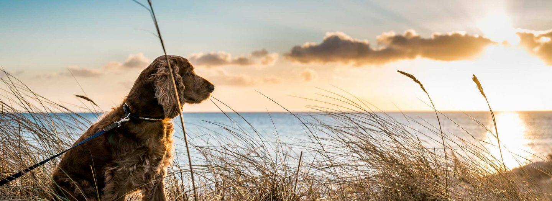 Dog enjoying sunset on holiday at Woolacombe beach