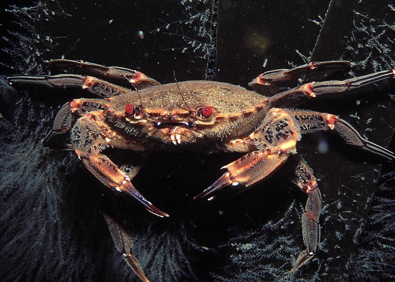 Crab at Ilfracombe Aquarium