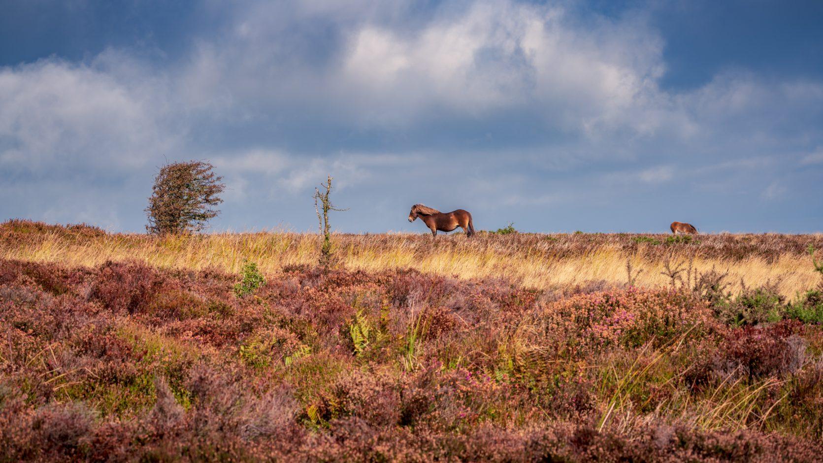 An Exmoor Pony, near West Down North Devon